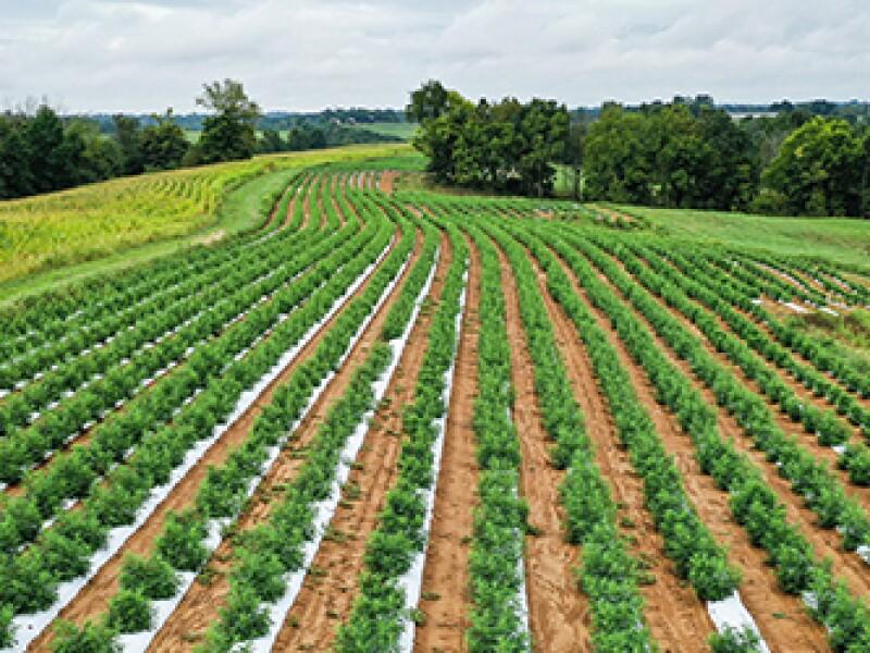 field-of-hemp-plants